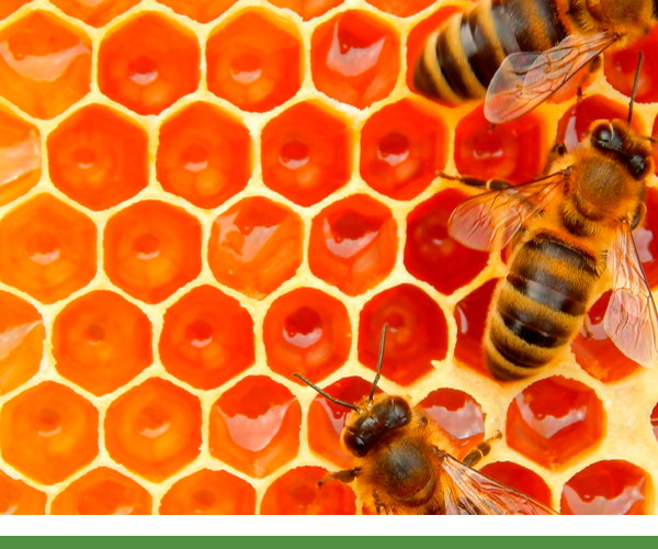 Ibee abejas